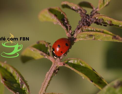 Café com FBN – Controle biológico